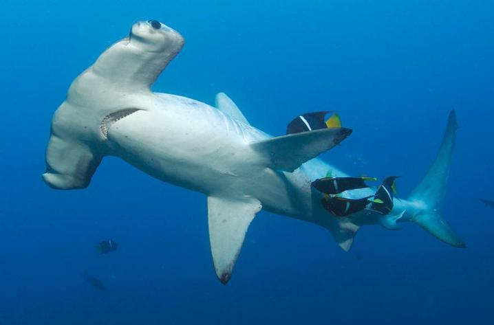 COCOS - One of the shark meccas of the world (Image by Undersea Hunter Group)