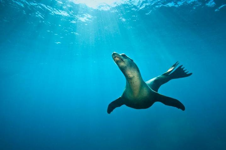 SEA OF CORTEZ - Dive with the sea lions! (Image by Alex Mustard)