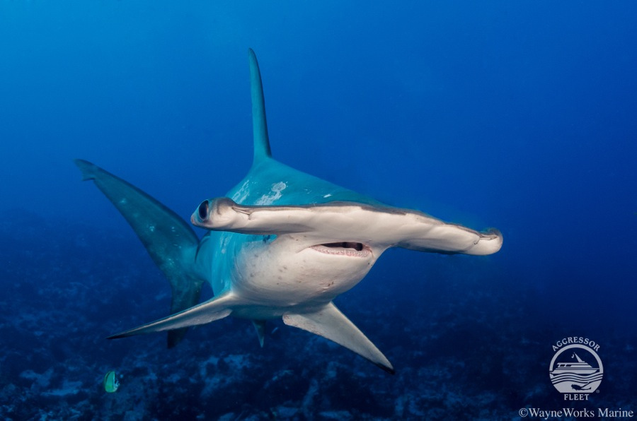 Cocos Island, Costa Rica has some of the best shark diving in the World.  Ask us about great savings on Okeanos Aggressor Liveaboard trips from October 2017 to March 2018.